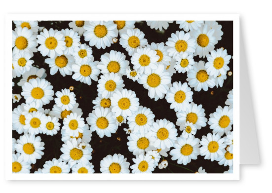 photo daisies