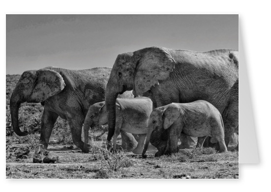 postcard elephants