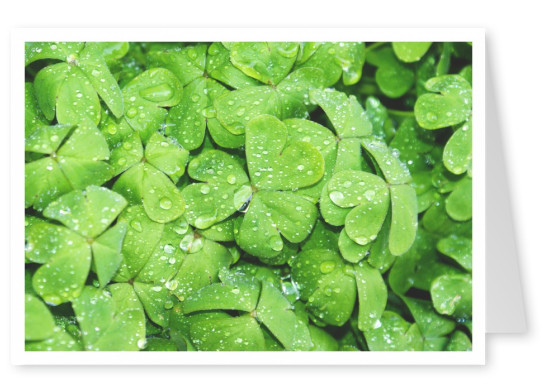 lots of shamrocks