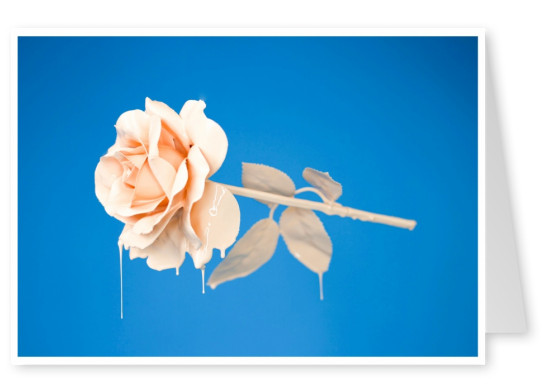 photo pastel Rose on blue ground