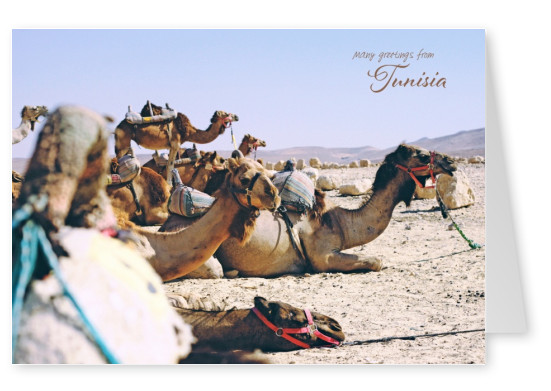 photo of camels in the desert of tunisia