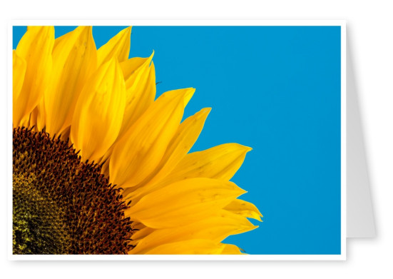 photo sunflower