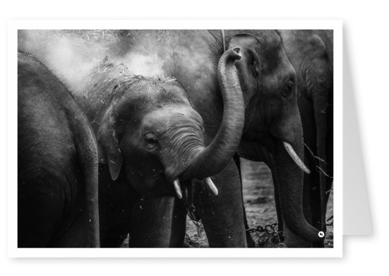 photo youn elephant b/w