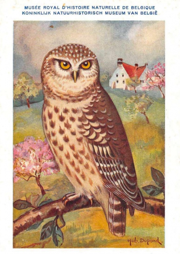 Mary L. Martin Ltd. – Athene Nactua vidalii Owl on Branch Vintage Postcard