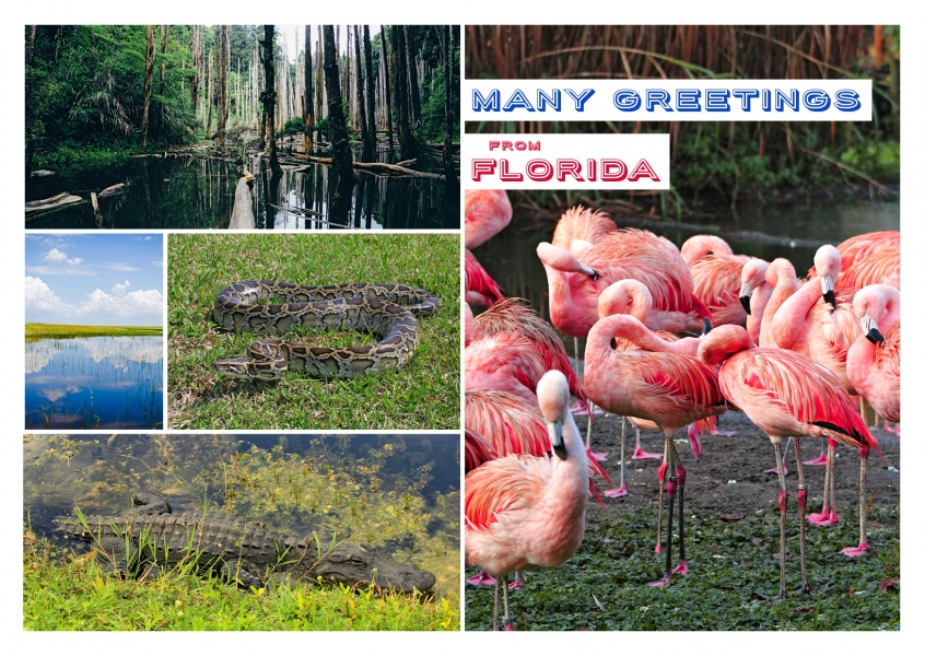 photo collage of Florida everglades with flamingos, alligator and typical swamp landscapes