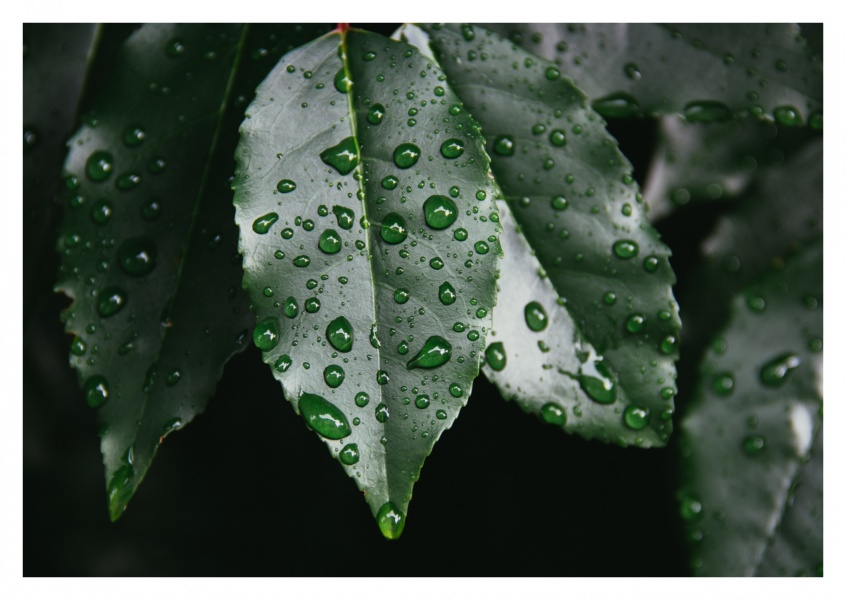 Dark leaf with raindrops