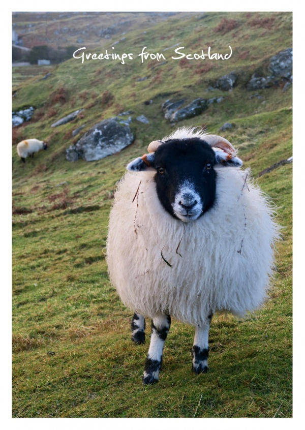 Photo scottisch highland sheep