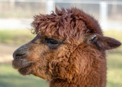 James Graf photo Alpaca
