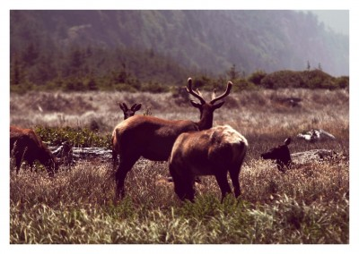 Elks in nature