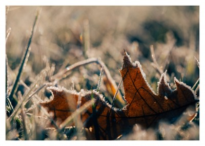 leaf with hoar frost