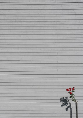 foto de Marcus Cederberg minimalpics Single Rose