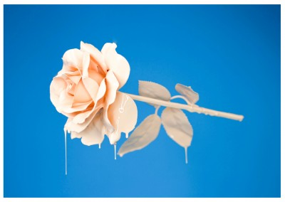 photo pastel Rose sur fond bleu