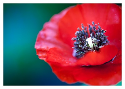 photo Poppy flower