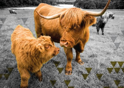 photo THE MACALLAN cows