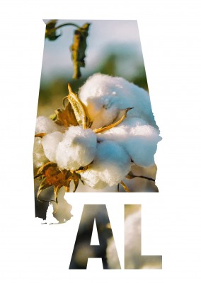 photo cotton blossom