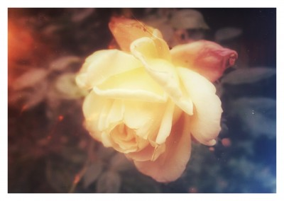 Photo of a white rose